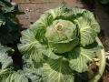 180401cabbage (2)
