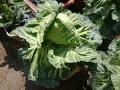 180401cabbage