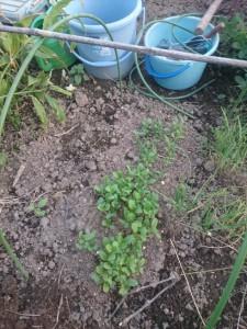 2015.10.13 悔しいのでリベンジ。地上部が枯れたギョウジャニンニクの上に蒔いてみた。これはニラの仲間だから、土に潜む幼虫は少しは少ないはず・・・